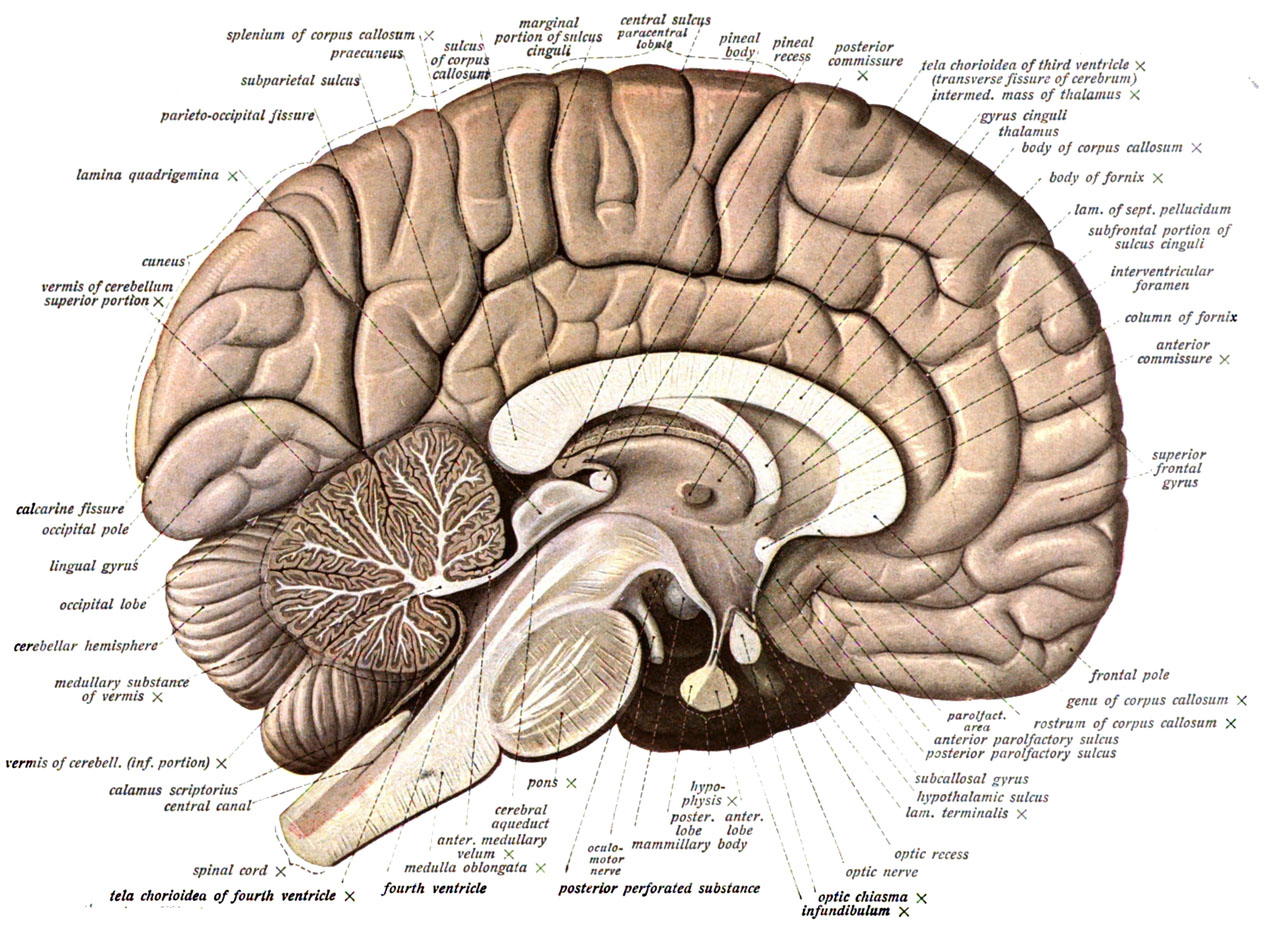 Blank Brain Diagram Inside Bigking Keywords And Pictures